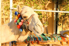 Camel's Head. Royalty Free Stock Image