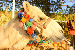 Camel's Head. Royalty Free Stock Images