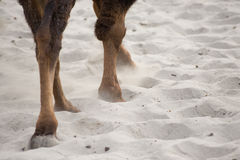 Camel's leg and foot. Walking on desert stock photo