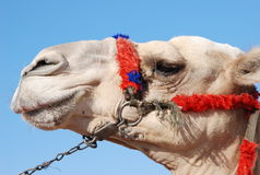 Camel's muzzle in profile Stock Images