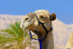 Camel's portrait Royalty Free Stock Image