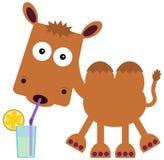 Camel's refreshment Stock Photo