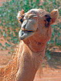 Camel's smile. Camel in the desert with cute smile Royalty Free Stock Photography