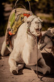 Camel's smile. Sitting camel with open mouth Royalty Free Stock Images