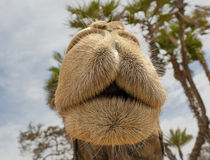 Camel's snout Stock Photo