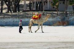 Camel with saddle on beach Stock Photos