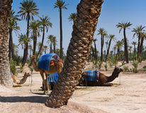Camel with saddle - Morocco Essaouira Royalty Free Stock Image