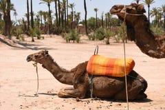 Camel with saddle - Morocco Essaouira Stock Photos