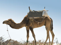 Camel with saddle - Morocco Essaouira Royalty Free Stock Photo