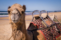 Camel with saddle resting on beach in Australia Royalty Free Stock Images