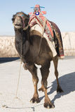 Camel with saddle Stock Images