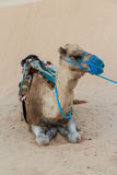 Camel saddled for ride Stock Photo