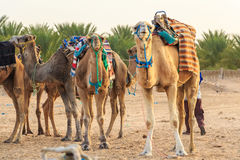 Camel saddled for ride Royalty Free Stock Photo