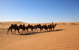 Camel safari Stock Image