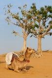Camel Safari. In Puszkar. Rajasthan, India stock photography