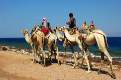 Camel Safari. Two riders on camel for safari, by the beach of Red Sea.Used for news and articles about the traveling in Egypt and other middle east countries by stock photography
