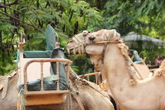 Camel Safari. Stock Image
