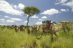 Camel safari with Masai warriors leading camels through green grasslands of Lewa Wildlife Conservancy, North Kenya, Africa Stock Photography