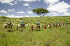 Camel safari with Masai warriors leading camels through green grasslands of Lewa Wildlife Conservancy, North Kenya, Africa Royalty Free Stock Images
