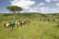 Camel safari with Masai warriors leading camels through green grasslands of Lewa Wildlife Conservancy, North Kenya, Africa Royalty Free Stock Photography