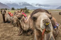 Camel safari in Nubra valley in Ladakh Royalty Free Stock Images
