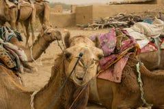 Camel Safari Royalty Free Stock Photography