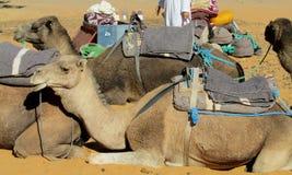 Camel safari in the sand desert Stock Photos