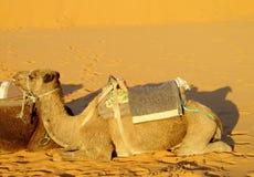 Camel safari in the sand desert Royalty Free Stock Photography