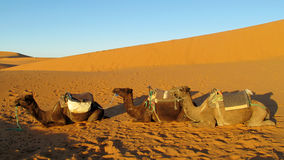 Camel safari in the sand desert Stock Photo