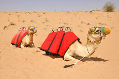 Camel safari, sitting camels in Dubai Royalty Free Stock Photos