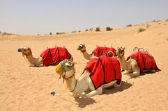 Camel safari, sitting camels in Dubai Stock Images