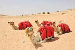 Camel safari, sitting camels in Dubai Royalty Free Stock Images