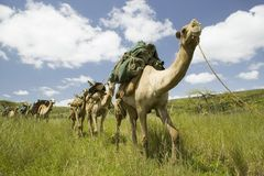 Camel safari walk through green grasslands of Lewa Wildlife Conservancy, North Kenya, Africa Royalty Free Stock Images