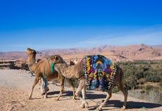 Camel safari on west sahara desert Stock Photos