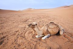 Camel in Sahara. Stock Image