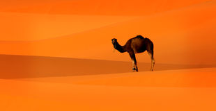 Camel in Sahara Royalty Free Stock Photography