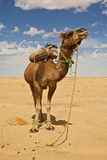 Camel in the Sahara. Egypt, camel in the Sahara desert Royalty Free Stock Image