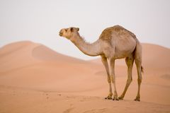 Camel in Sahara. Lone Camel in the Desert sand dune Stock Image