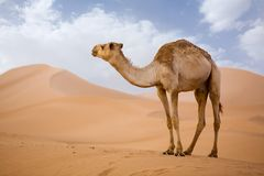 Camel in Sahara. Lone Camel in the Desert  sand dune with blue sky Stock Image