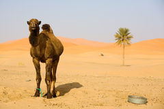 Camel in Sahara. Lone Camel in the Desert sand dune and palm Stock Images