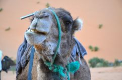 Camel in the Sahara. A camel making a funny face. In the Sahara, Morocco Stock Photos