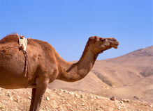 Camel in the sahara desert Royalty Free Stock Images