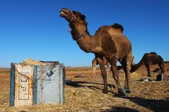 Camel in the Sahara desert Stock Photo