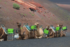 Camels caravan Royalty Free Stock Photos