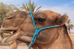 Camel in Sahara. Desert, Egypt. Portrait Stock Photos