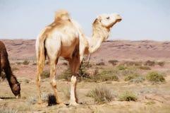 Camel and sahara Stock Image