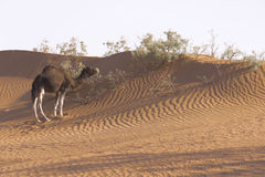 Camel in the Sahara desert Royalty Free Stock Photos