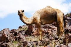 Camel and sahara Royalty Free Stock Photo