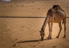 Camel in sahara royalty free stock images