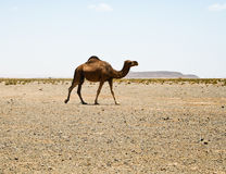 Camel in Sahara in Morocco Stock Photo
